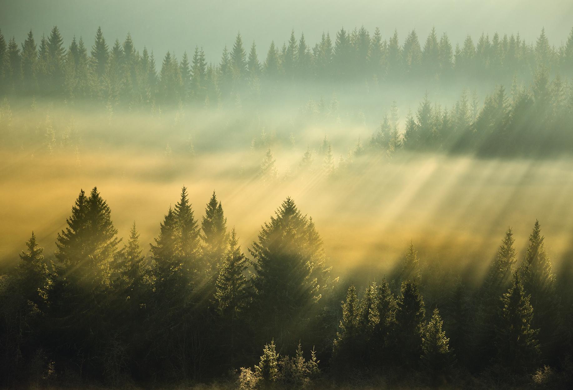 Pellopuu luontakuva metsämaisema